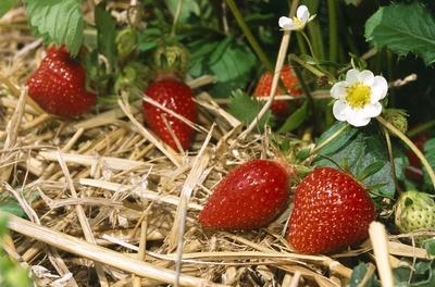 la_fraise_du_nord_.jpg