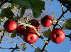 pommes-pommes-pommes-pommes-25325.jpg.jpg